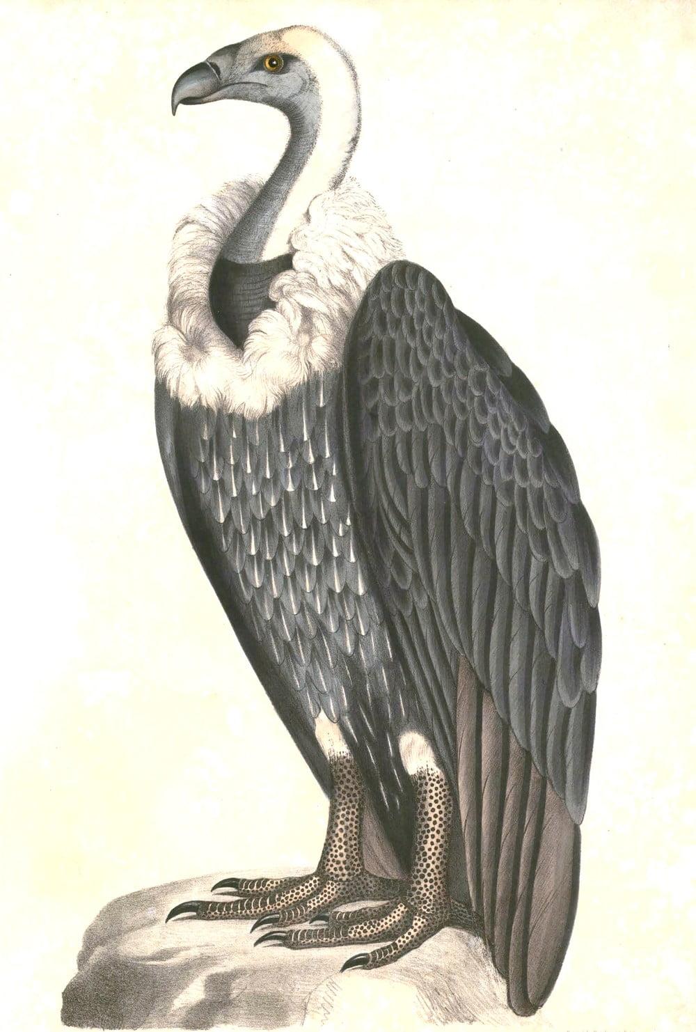 Gyps Bengalensis ,Thomas Hardwicke,Illustrations of Indian Zoology - Volume I